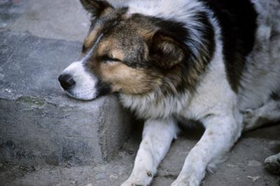 A Feral Street Dog Is Resting Asleep on a Street Curb