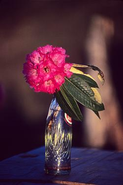 Rhododendron Flower in a Soda Bottle on a Table at Atea House by David Edwards