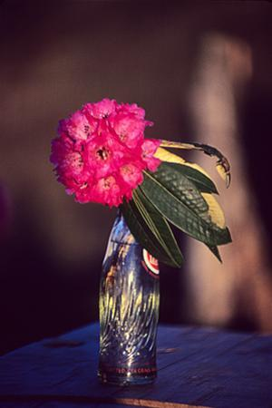 Rhododendron Flower in a Soda Bottle on a Table at Atea House