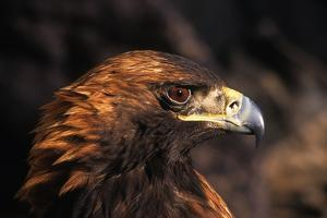 The Golden Eagle of Asia, Siberia and Europe Is Aquila Crysaetos by David Edwards