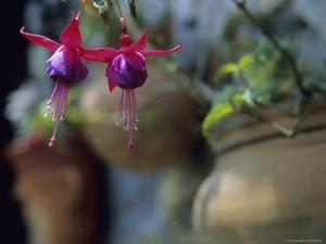 A Fuchsia Blossom Hangs from a Clay Planter by David Evans