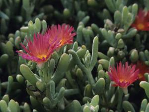 Carpobrotus Succulent Plants with Their Flowers by David Evans