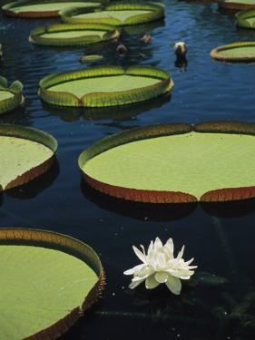 Large Lily Pads and Flowers Float in Calm Water by David Evans