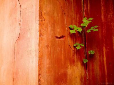 Plant Growing in Crack in Red Wall of Ming Dynasty Chinese Mausoleum, China by David Evans