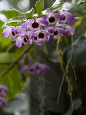Purple and White Orchid at the Botanic Garden by David Evans