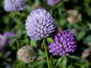 Purple Clover Flowers by David Evans