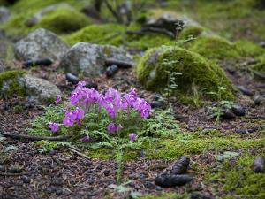 Purple Flowers, Pine Cones and Moss on Rocky Forest Floor in China by David Evans