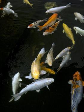 Yellow and Orange Koi Swimming by David Evans