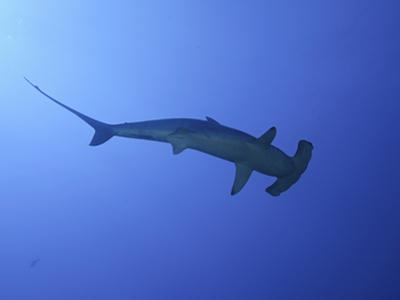 A Female Scalloped Hammerhead Shark (Sphyrna Lewini), Molokai, Hawaii, USA by David Fleetham