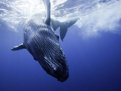 A Humpback Whale Calf (Megaptera Novaeangliae) Swimming Near its Mother, Hawaii, USA by David Fleetham