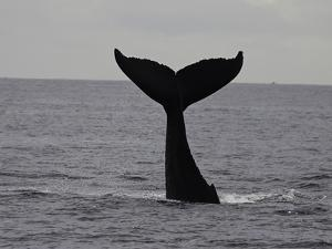 A Humpback Whale (Megaptera Novaeangliae) by David Fleetham