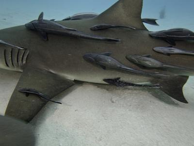 A Large Number of Remoras or Sharksuckers (Echeneis Naucrates) on a Female Lemon Shark by David Fleetham