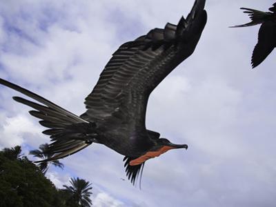 A Male Magnificent Frigatebird (Fregata Magnificens) in Flight over Santa Cruz Island by David Fleetham