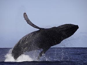 Breaching Humpback Whale (Megaptera Novaeangliae), Hawaii, USA by David Fleetham
