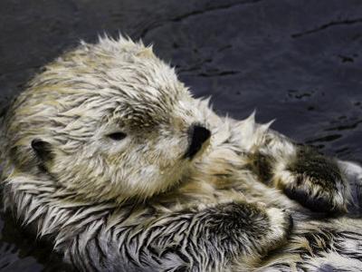 California Sea Otter (Enhydra Lutris), California, USA by David Fleetham
