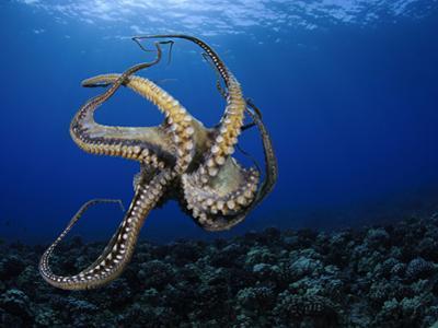 Day Octopus (Octopus Cyanea), Hawaii, USA by David Fleetham