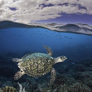 Endangered Hawksbill Sea Turtle (Eretmochelys Imbricata), Tubbataha Reef, Philippines by David Fleetham
