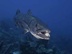 Great Barracuda (Sphyraena Barracuda) Can Reach as Much as Six Feet in Length, Caribbean by David Fleetham