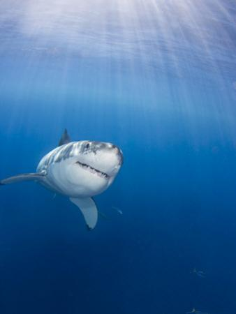 Great White Shark (Carcharodon Carcharias), Guadalupe Island, Mexico by David Fleetham