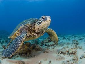 Green Sea Turtle (Chelonia Mydas), an Endangered Species, Hawaii, USA by David Fleetham