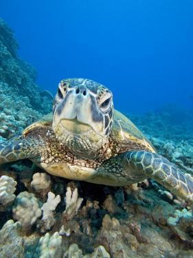 Green Sea Turtle Head (Chelonia Mydas), an Endangered Species, Hawaii, USA by David Fleetham