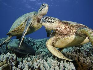 Green Sea Turtles (Chelonia Mydas), an Endangered Species, at a Cleaning Station Off Maui, Hawaii by David Fleetham