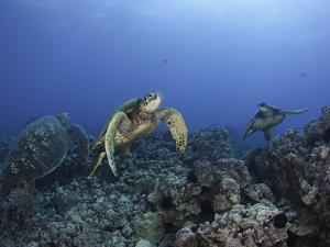 Green Sea Turtles Swimming over a Reef (Chelonia Mydas), an Endangered Species, Hawaii, USA by David Fleetham