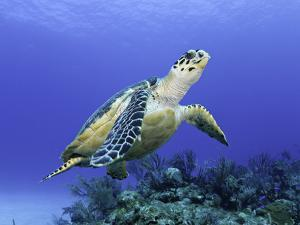 Hawksbill Sea Turtle (Eretmochelys Imbricata) Bahamas by David Fleetham