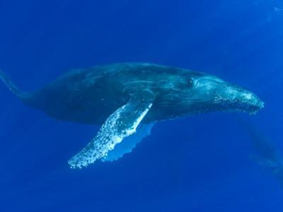 Humpback Whale (Megaptera Novaeangliae), Hawaii, USA by David Fleetham
