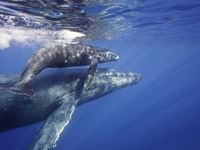 Humpback Whale Mother and Calf (Megaptera Novaeangliae), Maui, Hawaii, USA by David Fleetham