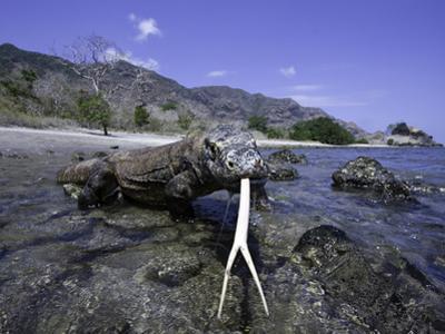 Komodo Dragons (Varanus Komodoensis) are the Worlds Largest Lizards, Rincisland, Komodo Np by David Fleetham