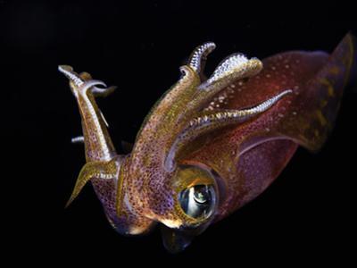 Male Bigfin Reef Squid (Sepioteuthis Lessoniana), Hawaii, USA by David Fleetham