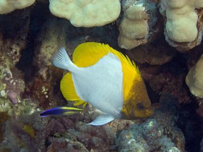 Pyramid Butterflyfish (Hemitaurichthys Polylepis) and an Endemic Hawaiian Cleaner Wrasse by David Fleetham