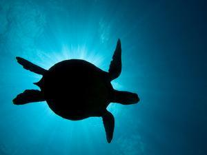 Silhouette of a Green Sea Turtle (Chelonia Mydas) Against the Sunlight Coming Through the Surface by David Fleetham