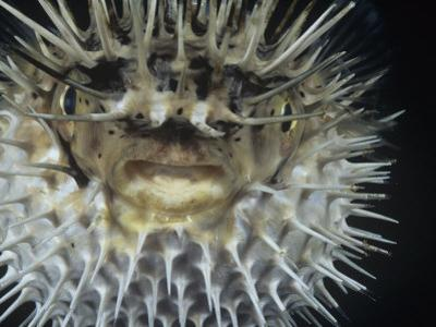 Spiny Pufferfish or Balloon Fish Inflated, Diodon Holocanthus by David Fleetham