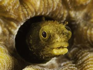 Spinyhead Blenny (Acanthemblemaria Spinosa) in a Hard Coral, Netherlands Antilles, Bonaire by David Fleetham