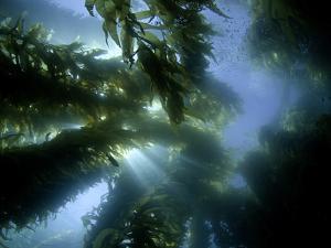 Sunlight Streaming Through a Forest of Giant Kelp (Macrocystis Pyrifera) Off Catalina Island by David Fleetham