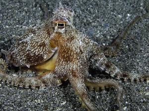 The Endemic Short-Armed Sand Octopus (Amphioctopus Arenicola), Maui, Hawaii, USA by David Fleetham