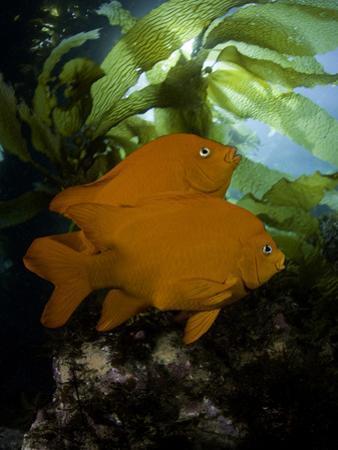 The Garibaldi (Hypsypops Rubicundus) Is the State Fish of California by David Fleetham