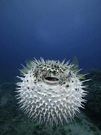 The Spotted Porcupine Fish (Diodon Hystrix) Feeds Primarily at Night on Hard- Shelled Invertebrates by David Fleetham