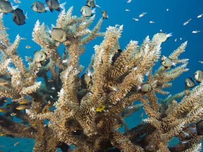 This Delicate Hard Coral (Acropora Subglabra) with a School of Damselfish by David Fleetham
