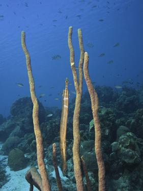 Trumpetfish (Aulostomus Maculatus) Camouflaged Among Rope Sponges (Aplysina), Bonaire, Caribbean by David Fleetham