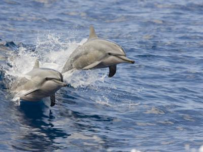 Two Spinner Dolphins (Stenella Longirostris) Leaping into the Air at the Same Time, Hawaii, USA by David Fleetham