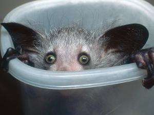 Aye-Aye, Infant Peering out of Tuppaware Container, Duke University Primate Center by David Haring