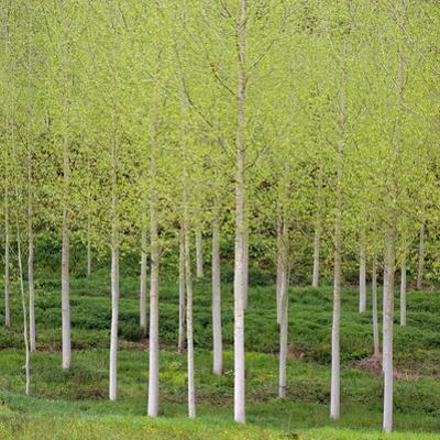 Birch (Betula), Dordogne, France by David Henderson