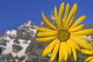 Aspen Sunflower, Helianthella Quinquenervis, in a Meadow at Maroon Lake by David Hiser