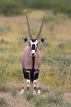 Gemsbok - botswana by David Hosking
