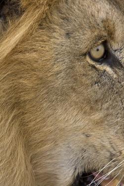 Lion eye by David Hosking