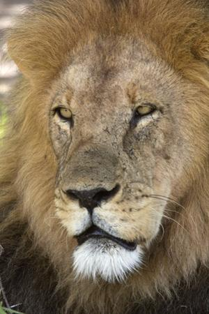 Male africam lion head by David Hosking