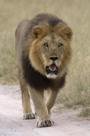 Male lion walks towards the camera by David Hosking